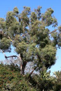 eucalyptus radiata 1000x1500
