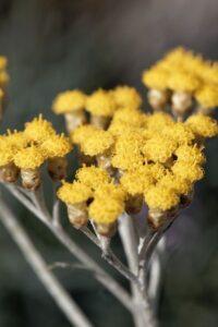 helichrysum italicum 1000x1500