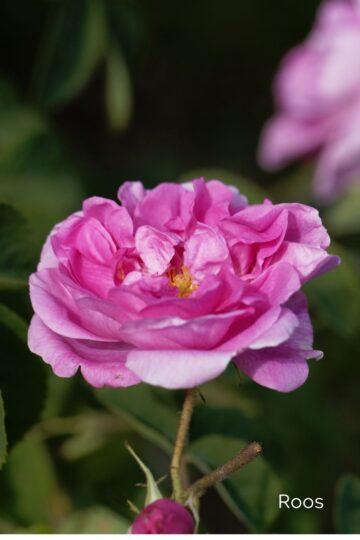naotoonik-oshadhi-roos-klaarsus